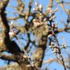 Amandier en fleurs en janvier 2021 dans l'Aveyron. Photo par Mariette